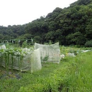 落花生マルチはがし追肥☆葉山農園(8月初旬)