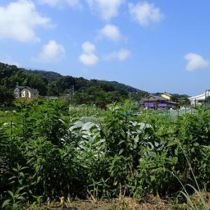 ズッキーニ未受粉果☆葉山農園(8月上旬)