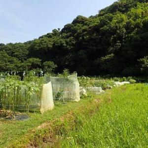 耕運機をかけよう!☆葉山農園(8月上旬)