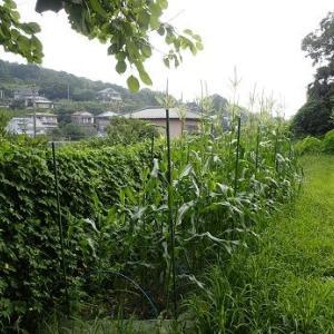 花ミョウガと草刈り機☆葉山野菜栽培記(8月上旬)
