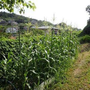 サトイモ草取り&耕運機☆葉山野菜栽培記(8月上旬)