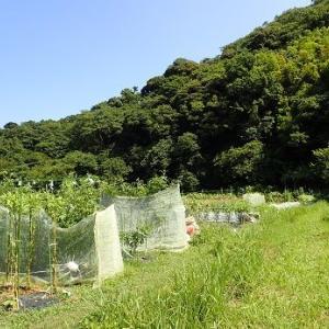 秋ブロッコリー☆葉山農園(9月初旬)