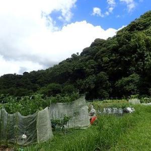 秋キュウリ植え付け時期☆葉山農園(9月初旬)