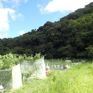 芽キャベツ植え付け時期☆葉山農園(9月初旬)