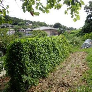 カリフラワー植え付け☆葉山野菜栽培記(9月初旬)