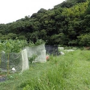 カリフラワー定植☆葉山農園(9月初旬)