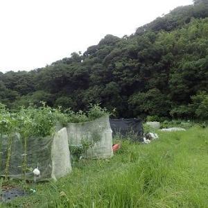 秋トウモロコシ収穫☆葉山農園(9月上旬)