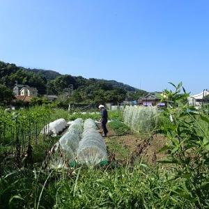 耕運機とブロッコリー☆葉山農園(9月上旬)