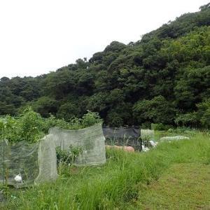 草刈り機と第2キャベツ☆葉山農園(9月上旬)