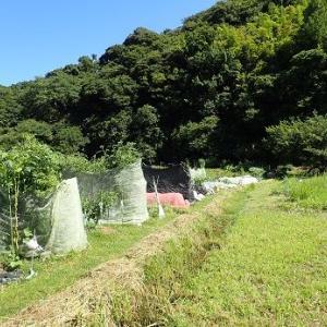 秋ジャガイモ発芽☆葉山農園(9月上旬)