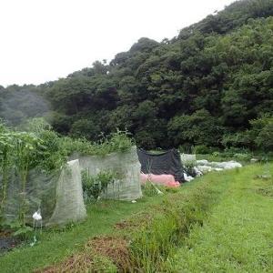 ハクサイの植え付け時期☆葉山農園(9月中旬)