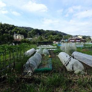 ラッカセイ被害と秋トウモロコシ☆葉山農園(9月中旬)