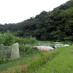 スイカ撤収収穫☆葉山農園(9月下旬)