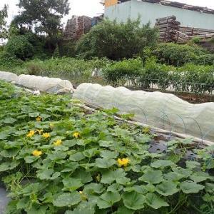 かぶ種まき&冬至カボチャ人工授粉☆葉山野菜栽培記(9月下旬)