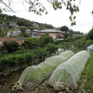ショウガ収穫時期☆葉山野菜栽培記(10月中旬)