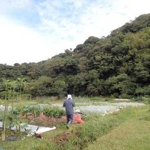 ハクサイの追肥時期☆葉山農園(10月中旬)