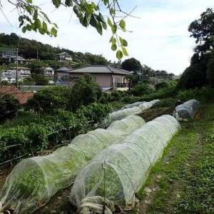 サトイモお試し収穫☆葉山野菜栽培記(10月下旬)