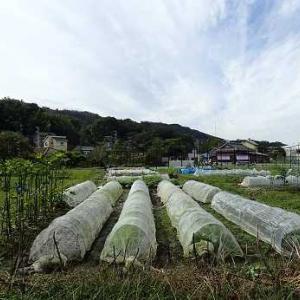 クウシンサイお片付け☆葉山農園(10月下旬)
