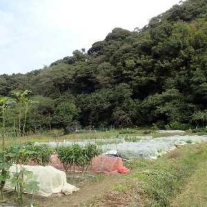 水菜収穫時期☆葉山農園(10月下旬)