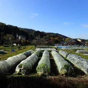 カリフラワー収穫☆葉山農園(11月下旬)