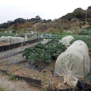 カラーニンジン収穫時期☆週末菜園(11月下旬)