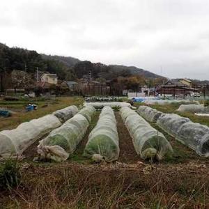 側花蕾の収穫☆葉山農園(11月下旬)
