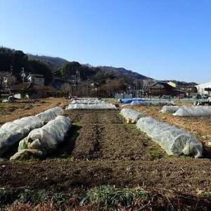 キャベツ終了☆葉山農園(1月中旬)