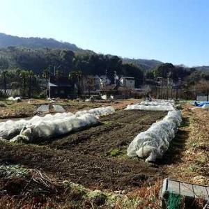 タカナ収穫☆葉山農園(1月中旬)
