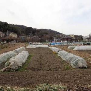 第2弾ハクサイと正月菜☆葉山農園(1月中旬)