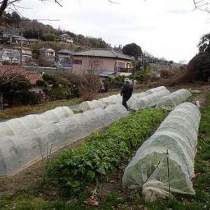 キャベツと蕪☆葉山野菜栽培記(1月中旬)