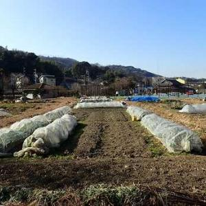 密なキャベツ☆葉山農園(1月下旬)