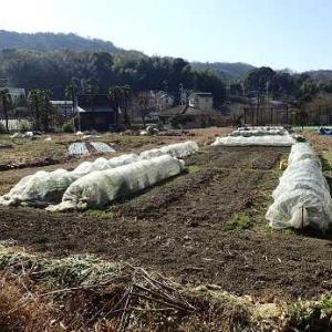 巻かなかった白菜☆葉山農園(1月下旬)
