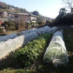 キャベツ爆発?☆葉山野菜栽培記(1月下旬)