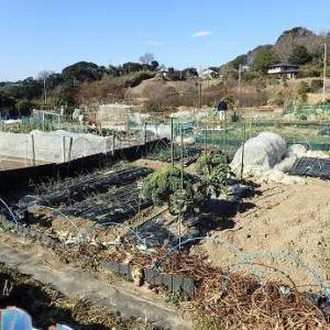ヒヨドリ被害☆週末菜園(1月下旬)