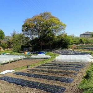ピーマン苗植え付け☆葉山農園(4月中旬)