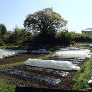 ハヤトウリ栽培☆葉山農園(4月中旬)