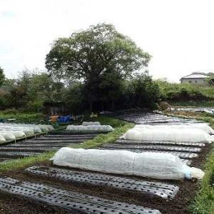 バターナッツ植え付け☆葉山農園(4月中旬)