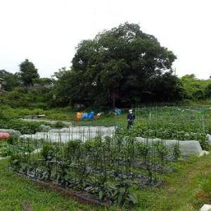 雨の中の収穫作業☆葉山農園(6月上旬)