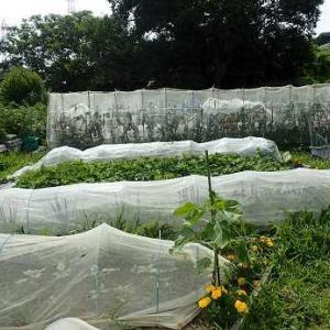 夏野菜収穫&草取り&耕運機☆葉山農園(6月中旬)