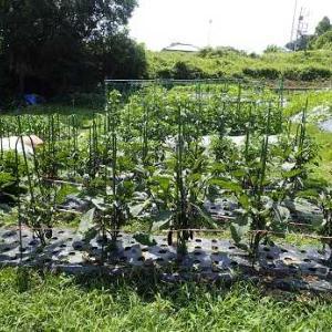 大玉トマト&モロッコインゲン収穫☆葉山農園(6月中旬)