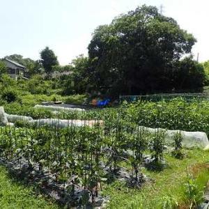 ニンジン種まき&ヤーコン苗植え付け☆葉山農園(6月中旬)