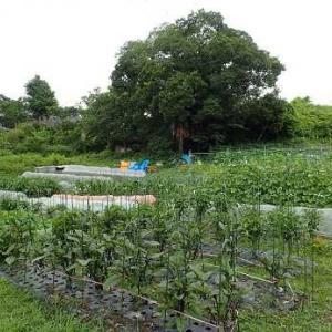 第2弾トマト苗植え付け☆葉山農園(6月中旬)