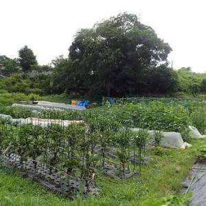 ミニトマト収穫と通り雨☆葉山農園(6月中旬)