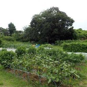 冬至カボチャ苗の植え付け&耕運機☆葉山農園(8月中旬)
