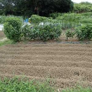秋ジャガイモ2条植え☆葉山農園(8月中旬)