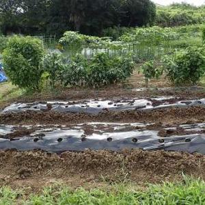 パクチー発芽と耕運機&マルチ☆葉山農園(8月中旬)