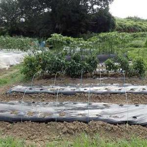 芽キャベツ苗の植え付け☆葉山農園(9月初旬)