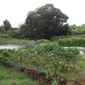 ハクサイ苗の植え付け☆葉山農園(9月上旬)