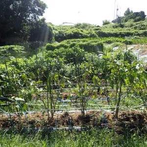 ニンニク球植え付け☆葉山農園(9月上旬)