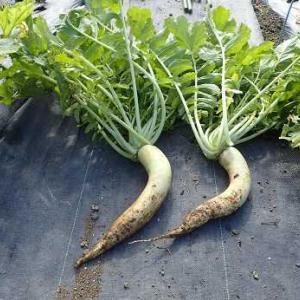 蕾菜&カリフラワー追加☆葉山農園(10月中旬)